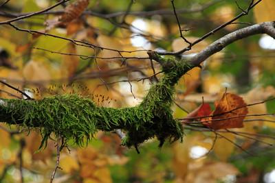 Moss — Moha