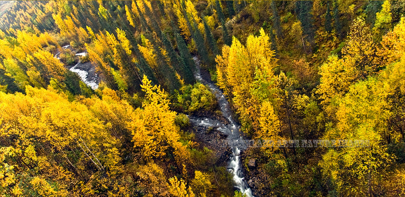 The height of color on Little Coal Creek. Parks Highway,AK. #919.012.