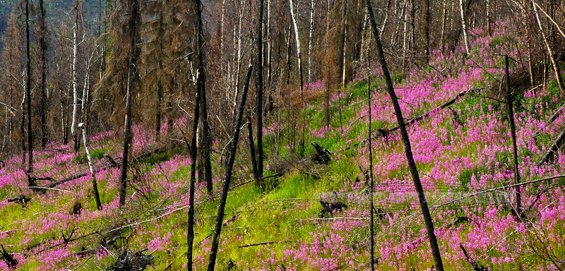 Fireweed, one of the first colonizers after the forest burns. Taylor Hwy,Alaska. #713.0090.