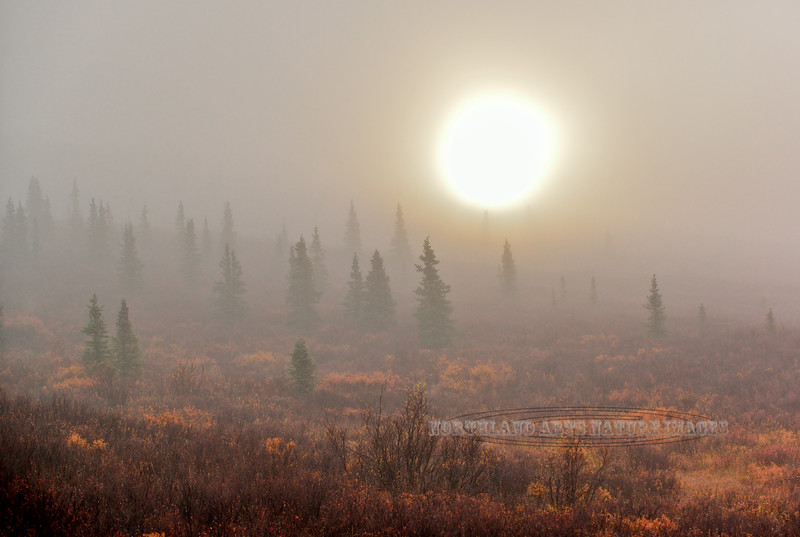 Foggy sunrise in the autumn Taiga forest. Alaska Range, Alaska. #915.034.
