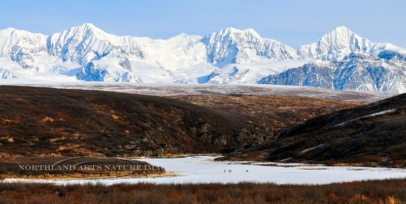 Caribou working towards a plateau with glaciers spilling over the Alaska Range. #.035. 1x2 ratio format.