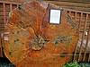 Spruce, Picea sitchensis, Alaska Sitka Spruce slab. At the  museum of the Cooper landing Historical Society, Kenai Peninsula Alaska.