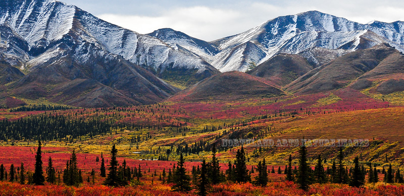 Autumn in the Taiga & Tundra. Alaska Range,Alaska. #829.081.