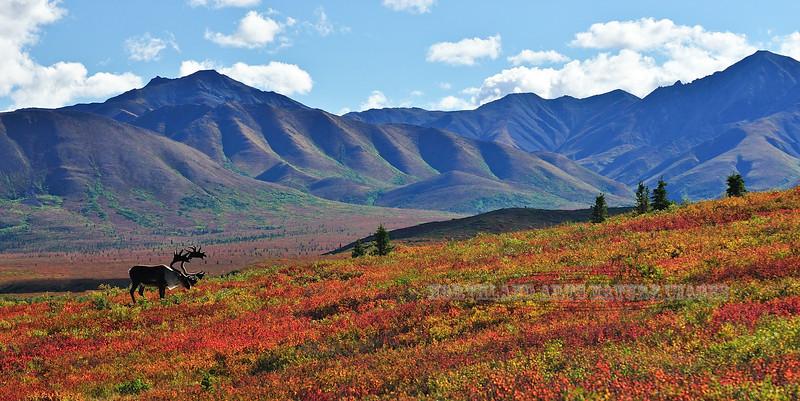 Barren Ground Caribou in brilliant fall color. Alaska Range, Alaska. #822.325. 1x2 ratio format.