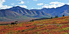 Barren Ground Caribou in brilliant fall color. Alaska Range, Alaska. #822.325. 1x2 ratio format.