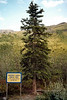 Farthest North Spruce Tree. Certainly not a good image. Scanned from old film stock. But irreplaceable as some chucklehead cut this tree down shortly after I shot this image. Dalton Highway, south side of Brooks Range Alaska. #84.4.