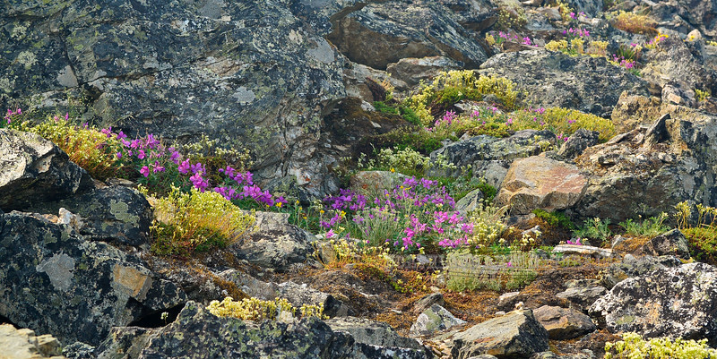 Typical alpine rock garden. Alaska Range, Alaska. #629.087. 1x2 ratio format.
