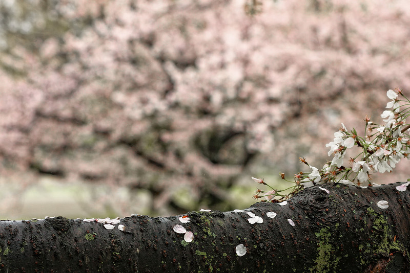 cherrytreedetail-1