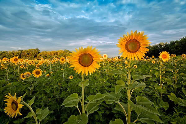 Sunflower field at McKee Beshers WMA