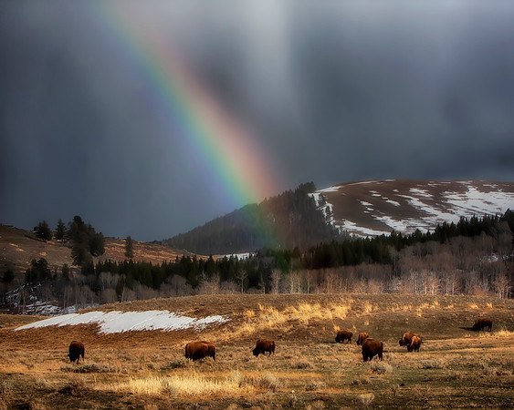Awesome sight.  This rainbow formed over a small herd of Bison or Buffalo in Yellowstone National Park, Wyoming (4/10).    This photograph is protected by the U.S. Copyright Laws and shall not to be downloaded or reproduced by any means without the formal written permission of Ken Conger Photography.
