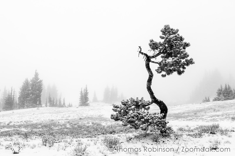 Gnarled Tree in the Snow