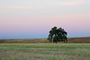 A lone tree stands at the edge of field in the evening twilight glow in California.