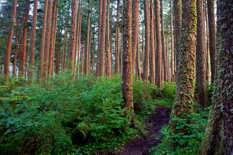 Sunset lights up the trees along the path across Tillamook Head.