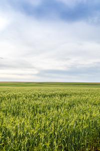 Wheat Field Horizon