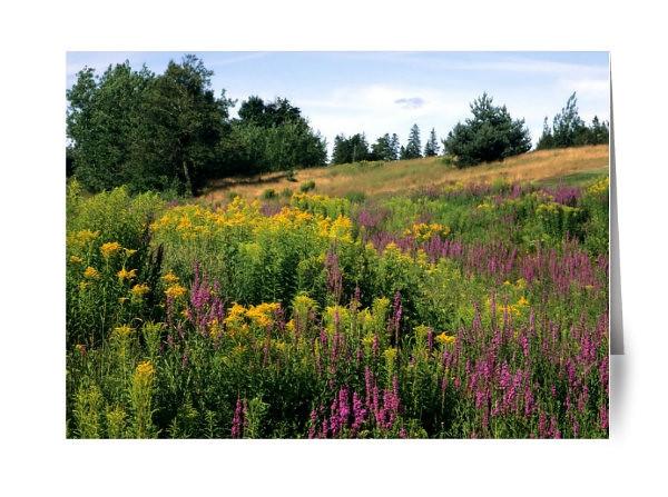 Canada Summer Wildflowers