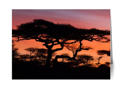 Afrca Acacia Tree Sunrise