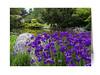 Siberian Iris Flowers