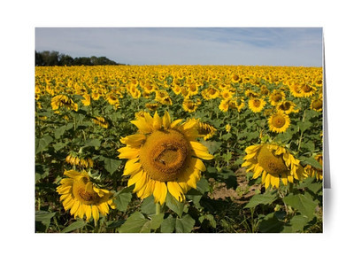 Sunflowers Jarretsville Md