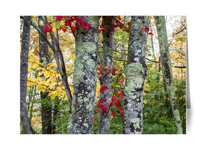 Colorful New England Autumn Trees cards. Acadia National Park, Maine.