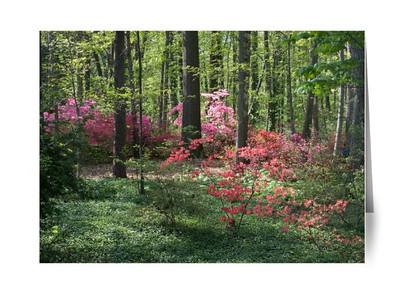 Spring Azaleas in DC