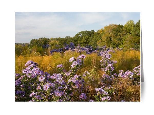 Purple Aster Field