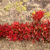 Kinnickinick, showing the fire reds of autumn,  adorns a cling to moss rock on Independence Pass.