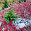 Kinnickinick, showing the fire reds of autumn,  adorns a natural rock garden on Independence Pass.