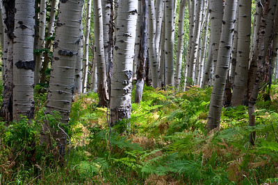 Ferns, guarded by aspen trees, lead the eye through the forest.