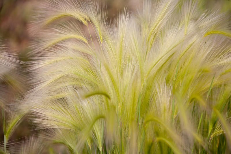 Foxtail grass swirls in the wind on Kebler Pass near Crested Butte, Colorado.