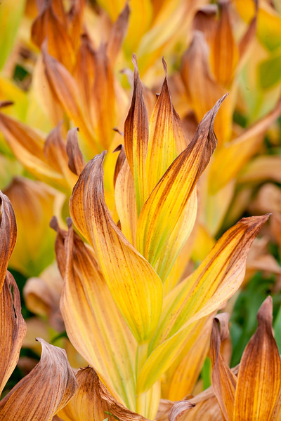 Backlit dried leaves of Mules Ear plant set an alpine meadow afire.