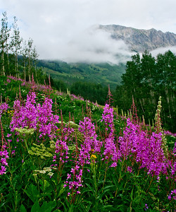 Fireweed and Green Gentian and a veil of fog grace the slopes of Gothic Mountain near Crested Butte, Colorado.