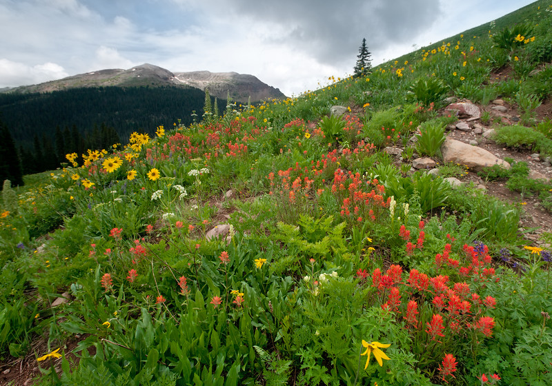 Green gentian, paintbrush and asters on a disturbed slope off Maroon Pass trail.