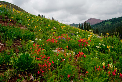 Indian Paintbrush and Asters in an alpine meadow near Crested Butte, Colorado.