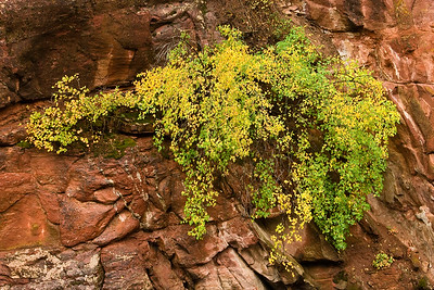 Clinging to the canyon wall, a colorful display along the Crystal River between Carbondale and McClure Pass.