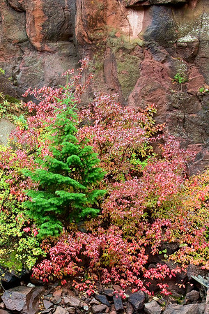 Scarlet ground cover and a delicate Spruce form a natural rock garden along the Crystal River between Carbondale and McClure Pass.