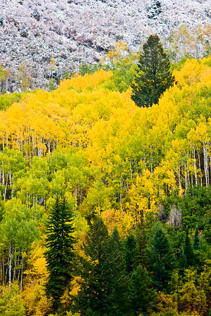 Below the snow line,  Aspen and Spruce trees above the Crystal River between Redstone and Paonia, Colorado.