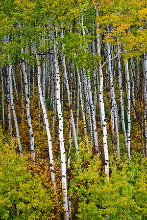 An armada of fall Aspen above the Crystal River between Redstone and Paonia, Colorado.