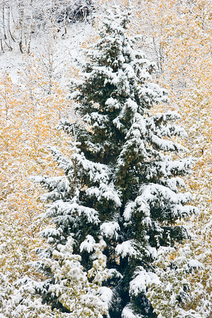 Spruce tree flocked with snow and flanked by yellow Aspen fall colors on McClure Pass between Redstone and Paonia, Colorado.