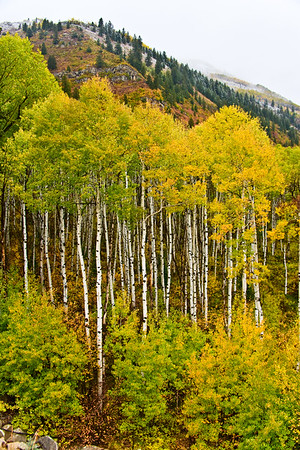 An armada of fall Aspen flanked by red Scrub Oak, above the Crystal River between Redstone and Paonia, Colorado.