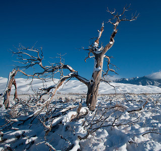 After an overnight storm snow flocked pine tree and sage in Great Sand Dunes National Park and Preserve.