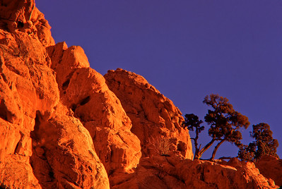 One Seed Juniper basks in warm early morning light at Garden of the Gods, Colorado Springs, CO.