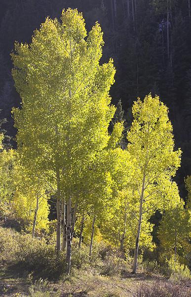 Stand of Aspen trees near Mount Sneffels.