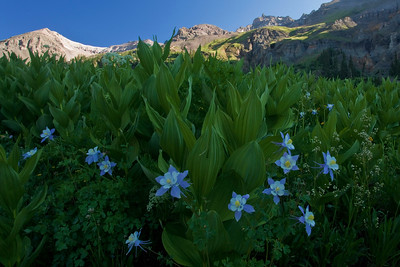 Spring wildflowers in Yankee Boy Basin near Ouray Colorado