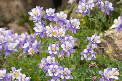 Columbine flowers in California Gulch near Silverton, Colorado