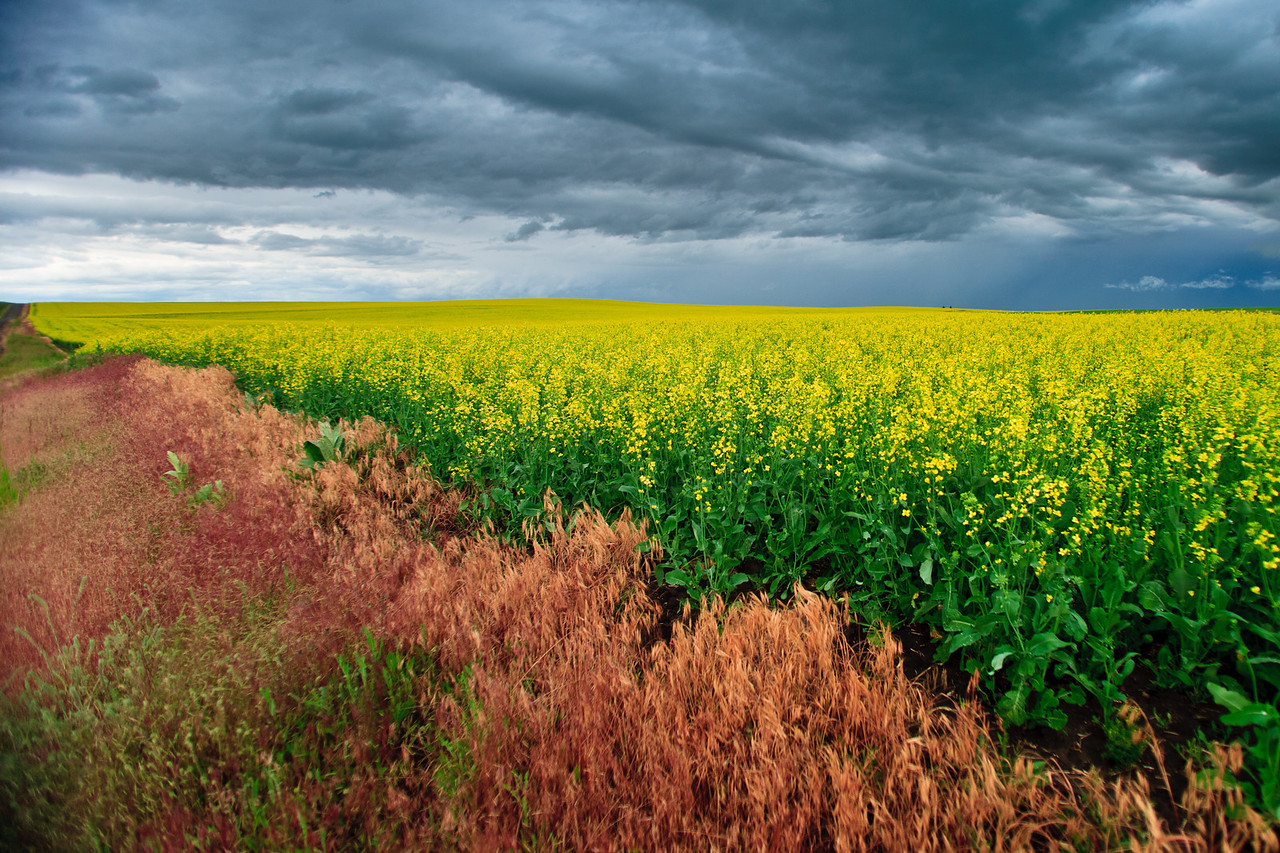 Canola field explosion of yellow blossoms.