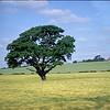 Green tree in rapeseed field