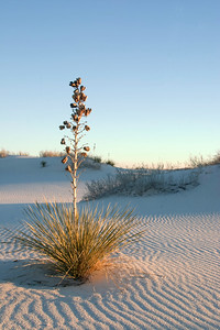 Yucca plant and sand patterns at White Sands National Monument, near Alamogordo, New Mexico.