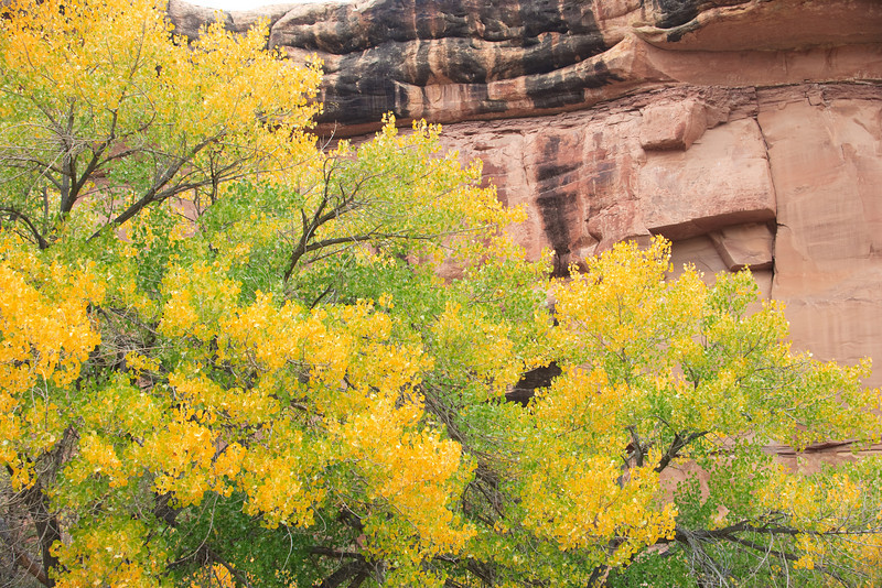 Cottonwoods appear to cascade across the  canyon wall.