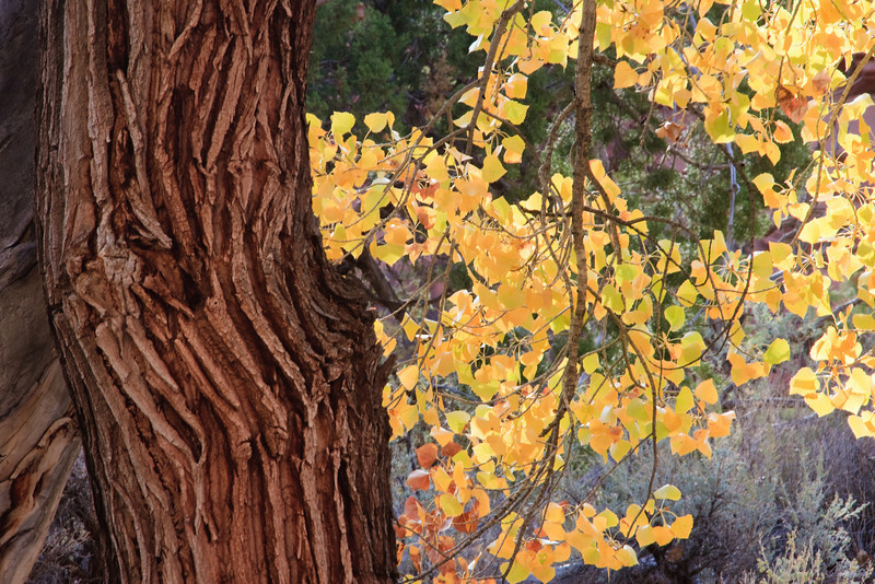 Trunk of cottonwood tree and changing foliage provide a pleasing array of textures and colors.