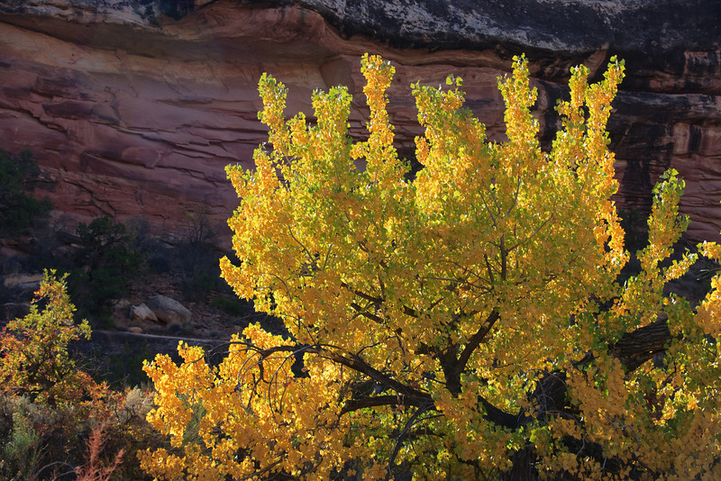 Cottonwood against red rock.